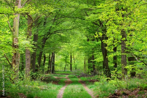 Fototapety, obrazy : Walkway in a spring forest in the Netherlands