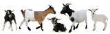 group of goats and kids - 104716044