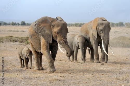 Fototapeta Elephant in National park of Kenya