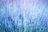Beautiful blurred flowering lavender plants closeup background. Blue violet color filter and selective focus used.