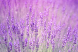 Beautiful blurred summer flowering lavender plants closeup background. Pink color filter and selective focus used.