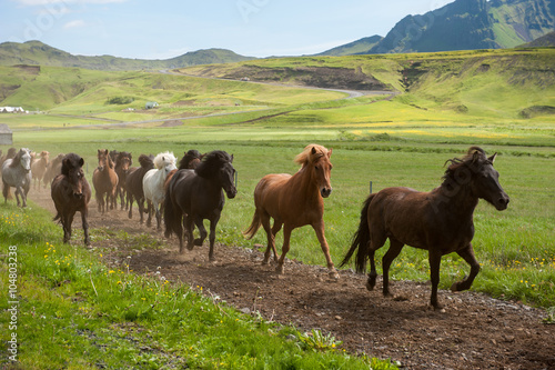 Poster Icelandic horses galloping down a road, rural landscape, Iceland