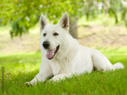 Poster Purebred White Swiss Shepherd lying on the grass