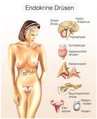 Endokrine Drüsen.Hormon-Drüsen des Körpers