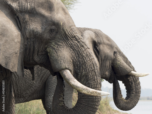 Poster, Tablou Elefante africano