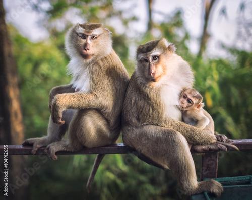 Plagát, Obraz Monkeys. Family.