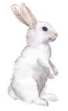 Fototapety white rabbit isolated