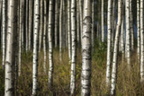 birch trees in summer landscape - 104956258