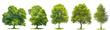 Quadro Set trees maple, oak, birch, chestnut. Isolated objects