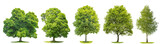 Set trees maple, oak, birch, chestnut. Isolated objects - 104963656