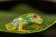 Red eyes green frog on leaf