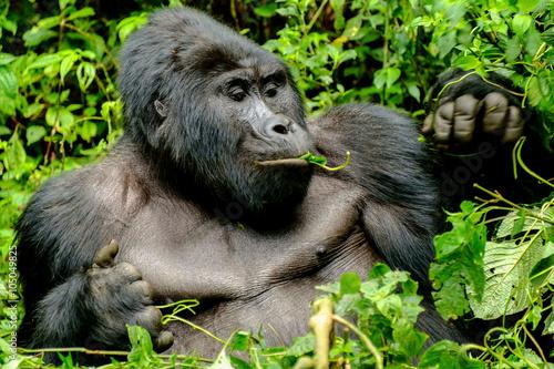 Poster Gorilla 4