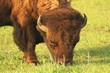 Bison grazing at Neal Smith Wild Life refuge, Prairie City, Iowa