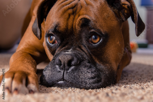 Closeup of our pet boxer Poster