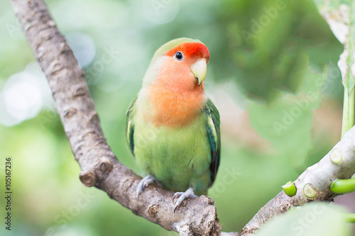 Fotobehang Green with orange faced lovebird standing on the tree in the gar