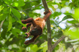 Red Howler Monkey (Alouatta seniculus) in Tambopata National Reserve, Peru
