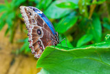 Blue Morphus butterfly - 105182003
