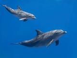 Rodzina delfinów (dziecko i matka) pływających w wodzie niebieskiej