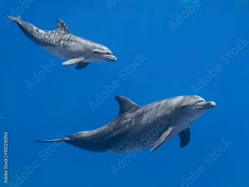 Fotobehang Dolfijn Dolphins family (baby and mother) swimming in water of the blue