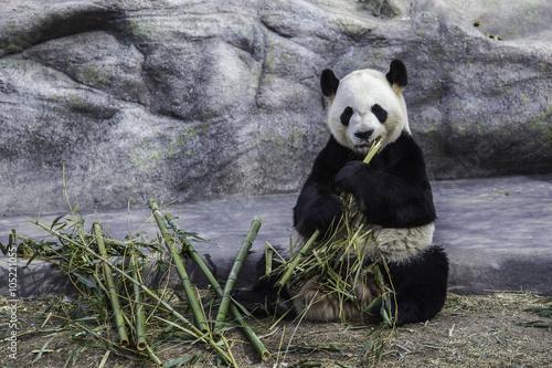 Aluminium Panda Giant panda is eating bamboo in Toronto Zoo, Toronto, Canada