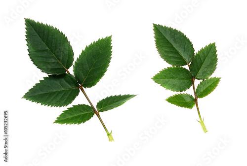 Zdjęcia na płótnie, fototapety, obrazy : Green rose leaves