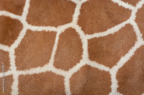 Animal skin background of the patterned fur texture on an African giraffe Poster