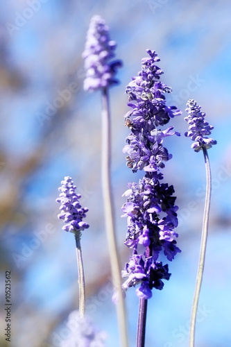 Wild purple salvia flowers( salvia nemorosa),soft focus and vintage color toned. © chokchaipoo