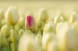 One red Dutch tulip