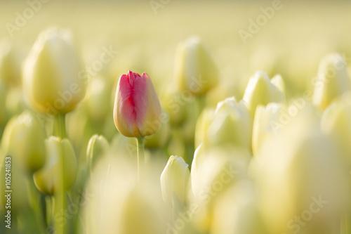 Plakát, Obraz Jedna červená holandský tulipán