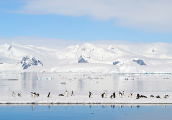 Group of adelie penguins on the floating ice, with mountain range covered by snow in background, blue sky, Antarctic Peninsula