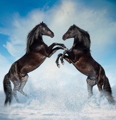 two black reared horses on the winter background