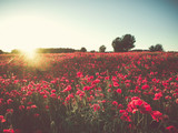 Field with bright blooming poppies at sunset