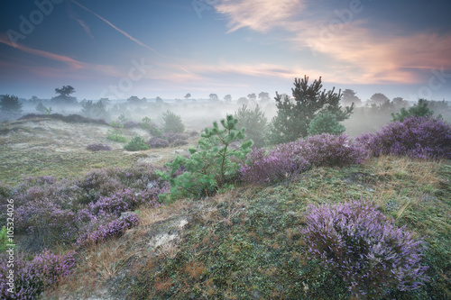 ling flowers on hills in misty morning - 105324026