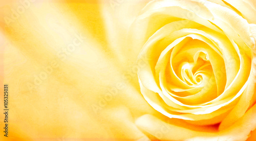 Fototapeta Grunge banner with yellow rose and paper texture