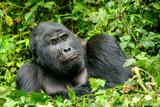Gorilla 17