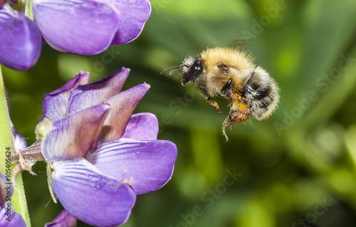 Zdjęcia na płótnie, fototapety, obrazy : bumble bee flying to flower