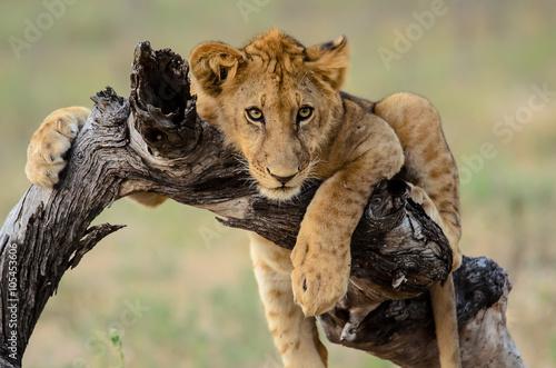 Jeune lion traîner Poster