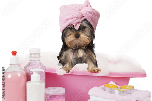 Poster Yorkshire terrier dog taking a bath