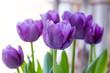 bukett med lila tulpaner