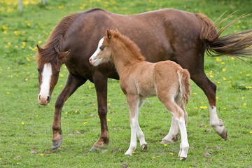 Welsh pony mare with nice foal