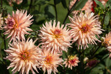Close up of pink  dahlia flowers in garden