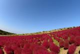 常陸海浜公園 絶景 紅葉のコキアの丘