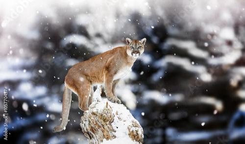 Fotobehang Leeuw Portrait of a cougar, mountain lion, puma, panther, striking a p
