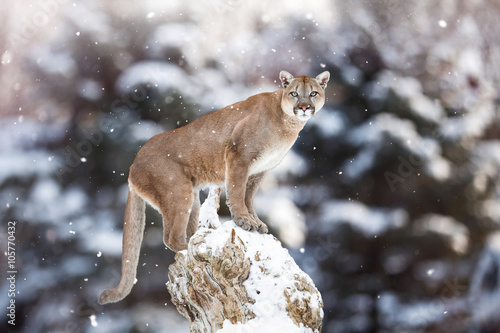 Poster Portrait of a cougar, mountain lion, puma, panther, striking a p