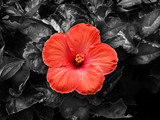 red hibiscus - 105790059