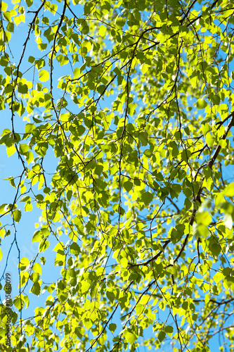 Naklejka green leaves on a birch in the spring