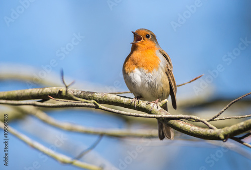 Póster Robin Bird Chirping and Singing