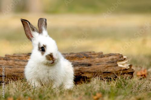 Poster 枯れ木の前に座る子ウサギ