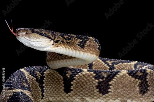 Foto op Plexiglas Krokodil Bushmaster (Lachesis muta)