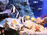 Fototapeta Do akwarium - ryby © dulak
